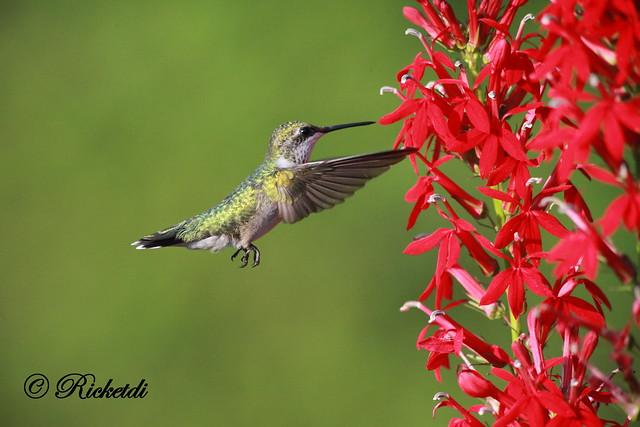 ***Colibri a gorge rubis / Ruby-throated hummingbird