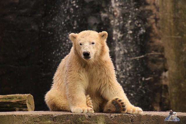 Eisbär Fiete imm Zoo Rostock 15.08.2015 Teil 2  260