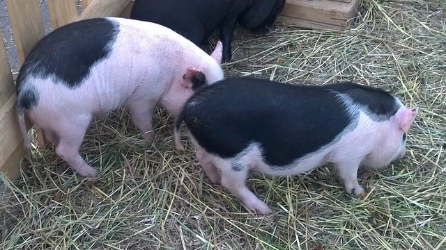 city pigs