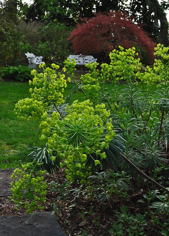 Euphorbia characias subsp. wulfenii (4)
