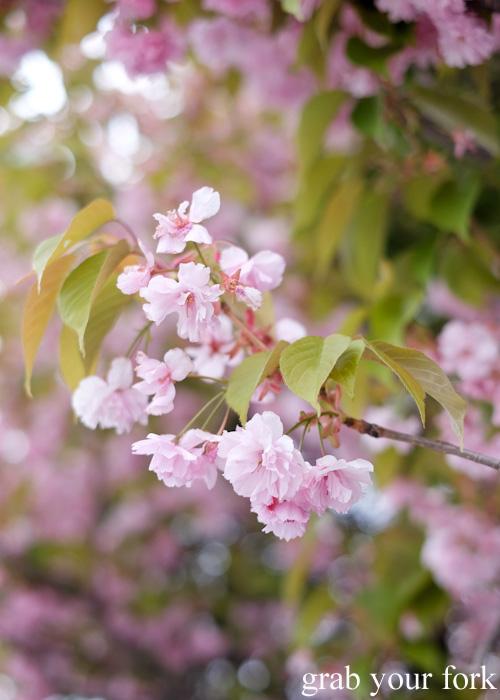 Cherry blossoms in Otaru, Hokkaido