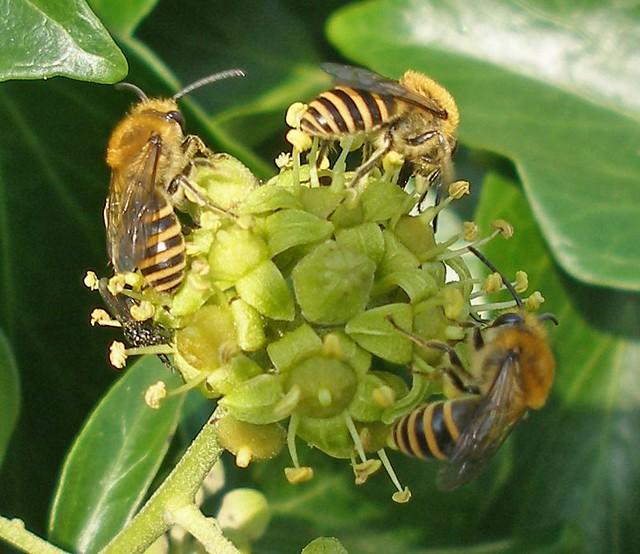 Ivy Bee 4