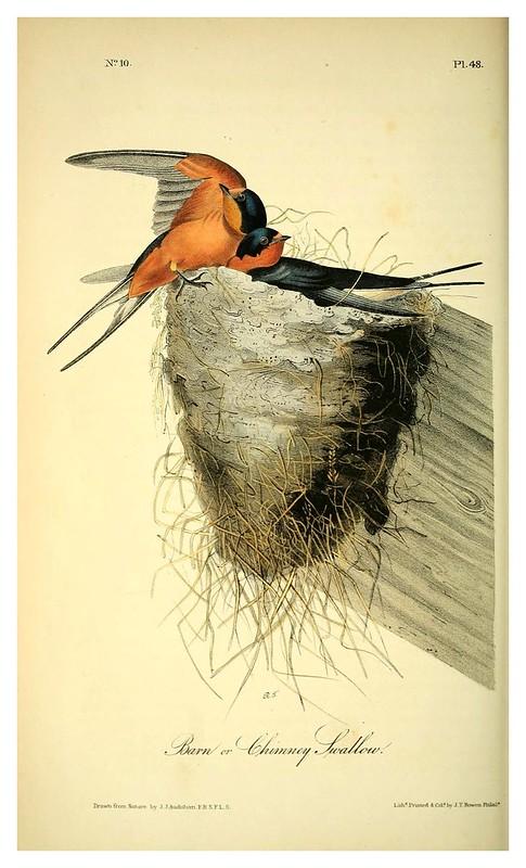 005- Golondrina de granero- Vol1-1840-The birds of America…J.J. Audubon