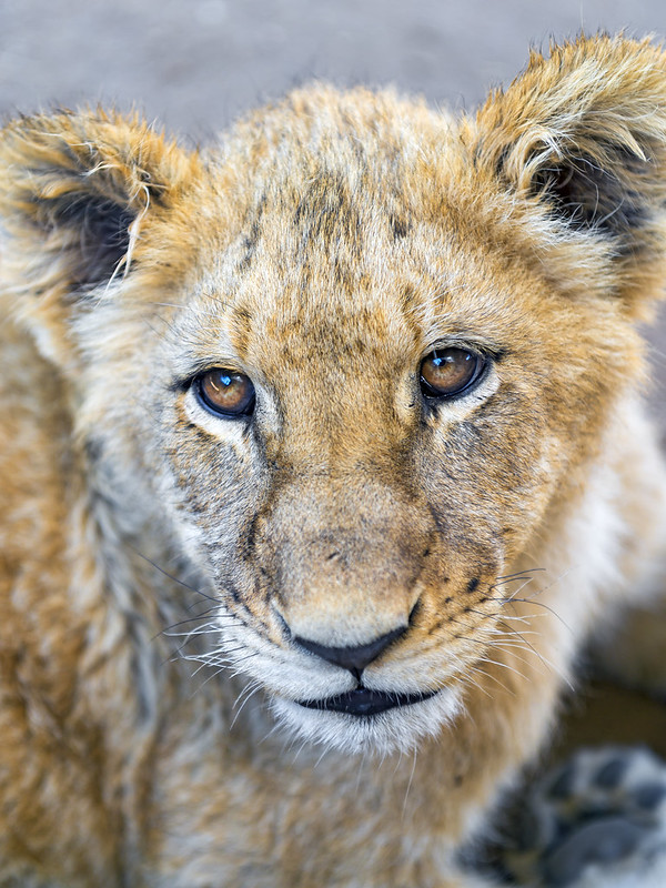 Closeup of a lion cub
