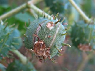 Wild shrub: Ricinus communis-L. ~ Crete