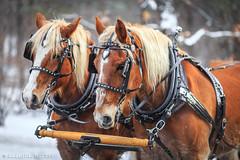 Frost Faire Horses