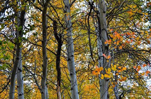 autumn aspens togwoteemountainlodge sandybohlken