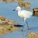 Reddish Egret (Egretta rufescens), white morph