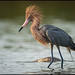Reddish Egret @ Florida by Nikographer [Jon]