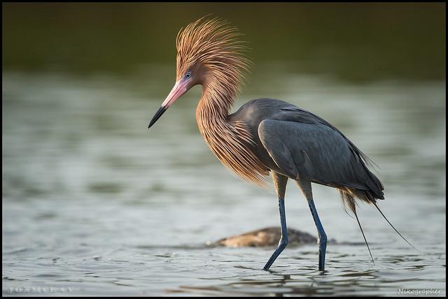 Reddish Egret @ Florida