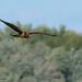 Busard Saint-Martin ♀ /  Northern Harrier