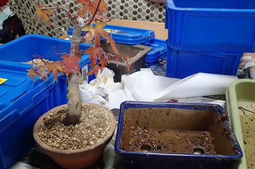 ヤマモミジ盆栽の植え替え