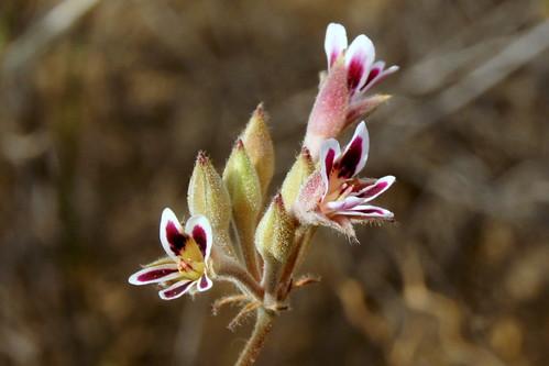 Pelargonium pilosellifolium