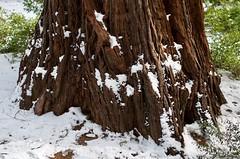 Snow and Sugar Pines