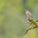 Female Black Redstart (Phoenicurus ochruros) by Guido de Kleijn