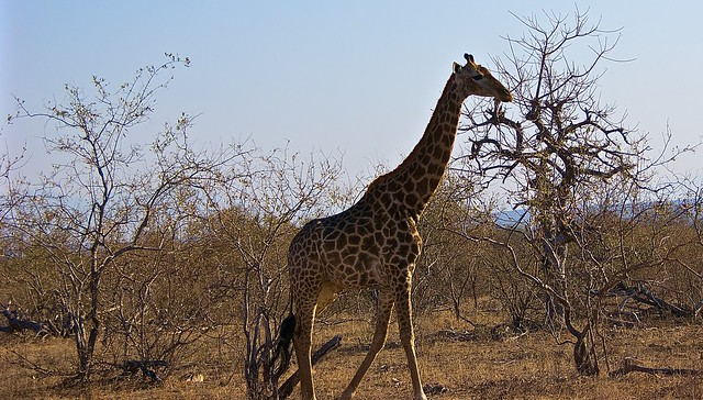 A giraffe walking tall