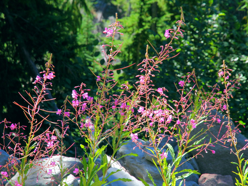 IMG_9621 Fireweed on Glacier Basin Trail, Mount Rainier National Park