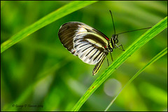Butterfly on Diagonal