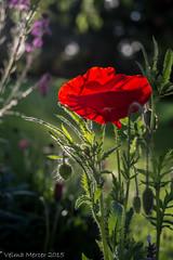 The last poppy...
