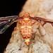 Fancy male derbid hopper with wing diffraction by pbertner