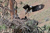 Eagle takes fawn to nest