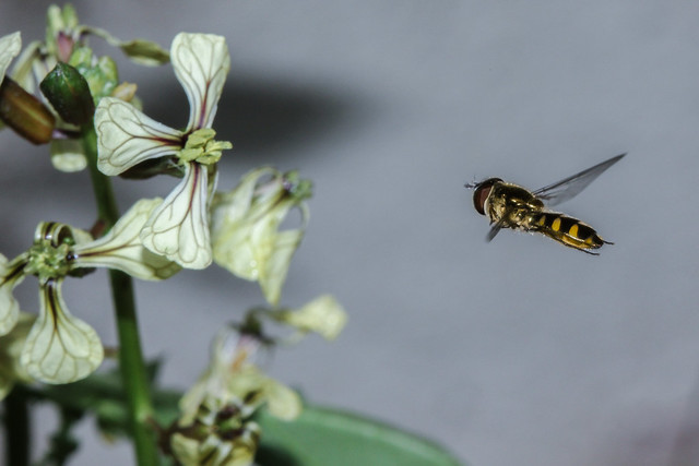 Hover Fly approaches