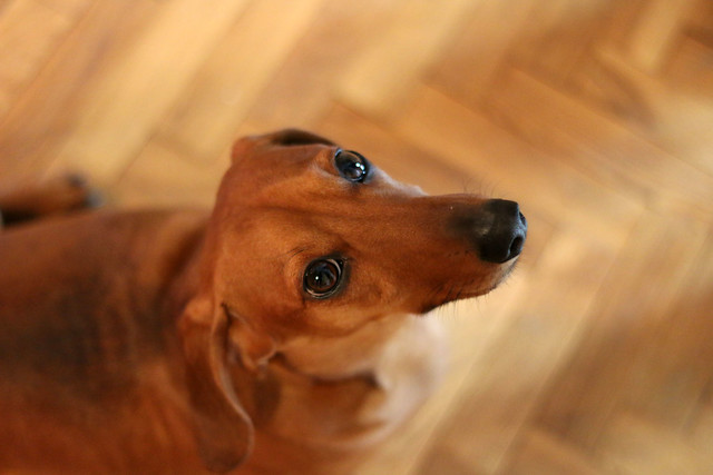 Rupert the Dachshund