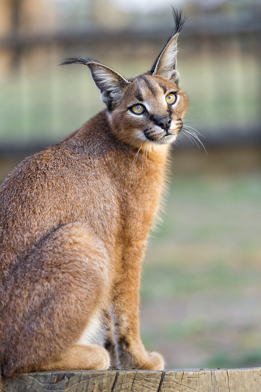 Sitting and posing caracal