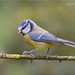 Blue Tit by davolly59