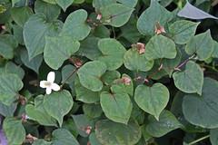 Soururaceae
