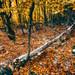 The falled tree by cuellar