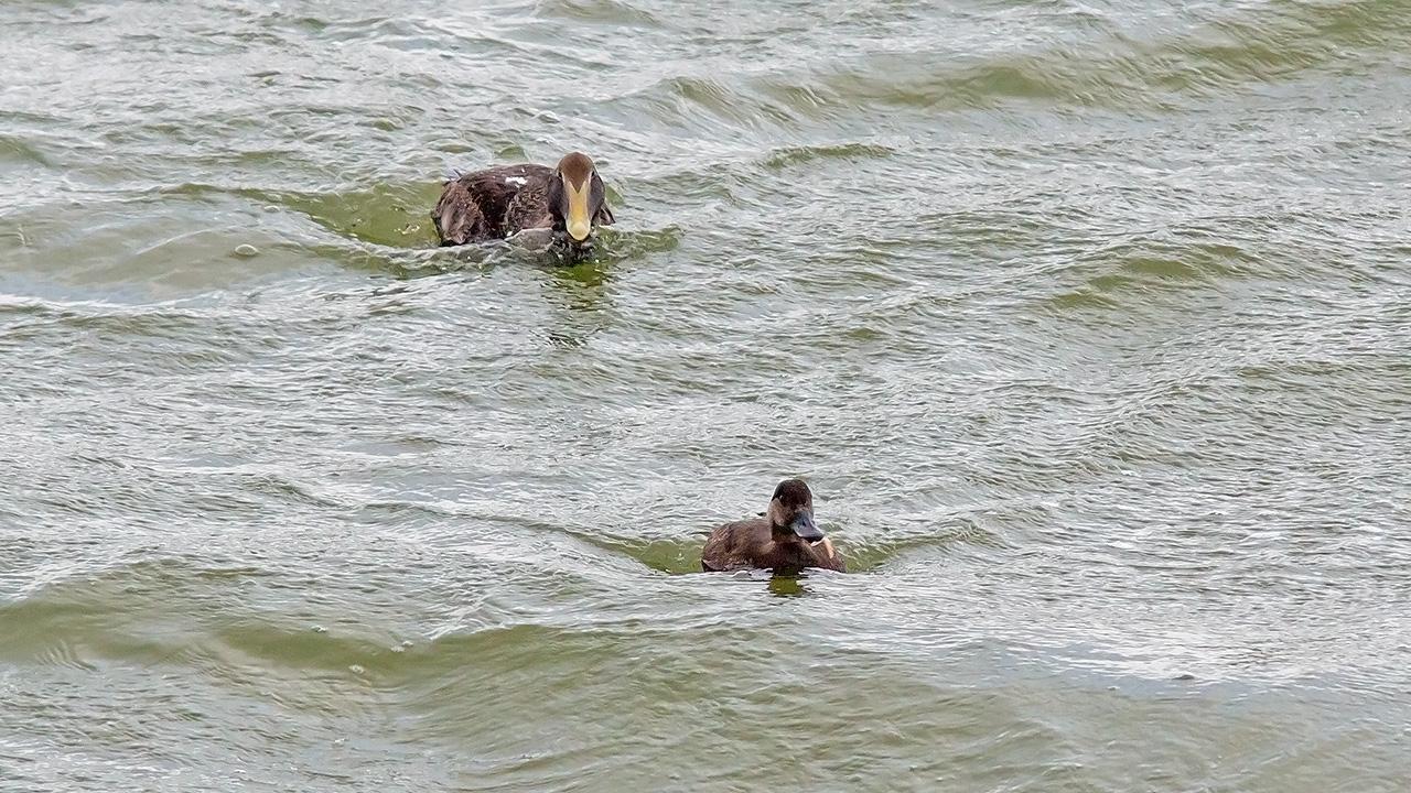 Eider & Zwarte Zee-eend