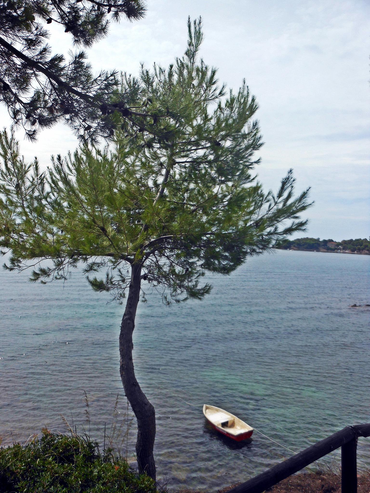 Maritine Pine