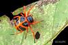 Tortoise orb weaver (Encyosaccus sp.) - DSC_3088 by nickybay