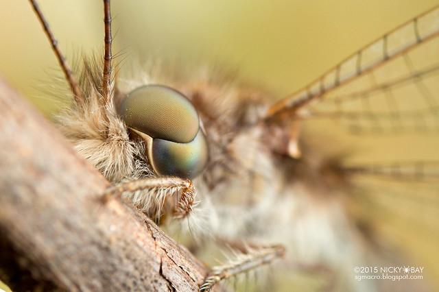 Owlfly (Ululodes sp.) - DSC_8402