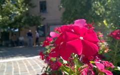 #lumia640XLtrial #lumiarefocus #nofilter // #shotonlumia #shotonmylumia #lumia640XL #nocrop #flowers #flowersofinstagram #blooms #naturelovers #borough #citylife #streetview #village #garden #colorful #rsa_streetview #bd_flower #macro_brilliance #loves_de
