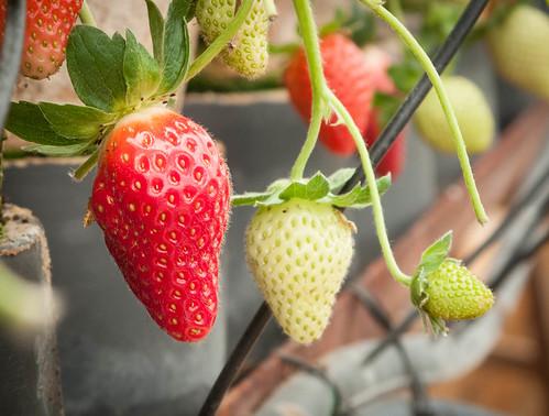075 Strawberries ,size : S, M, L