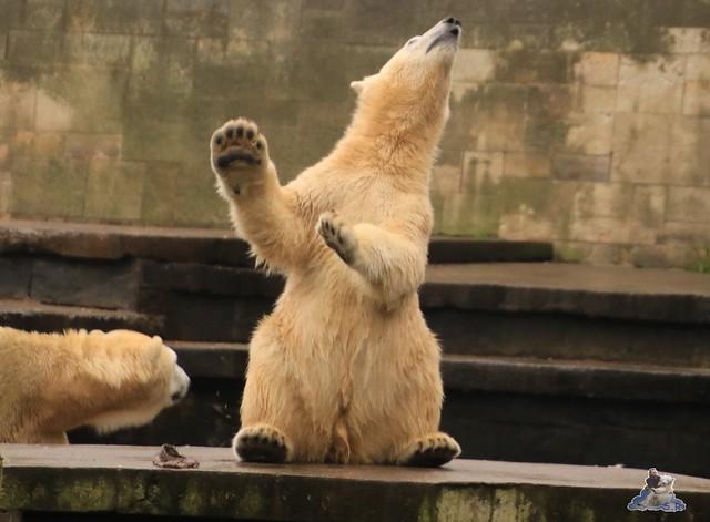 Eisbär Fiete im Zoo Rostock 17.10.2015  0125