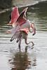 Blijdorp flamingo's