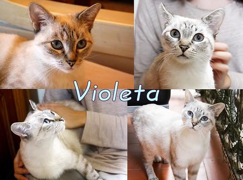 FALLECIDA- Violeta, gata siamesa tabby dulcísima esterilizada, nacida en Agosto´13, en adopción. Valencia. 22627563493_3c9a4be7bb