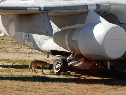 Pima Air-Space museum - Boneyard - coyote - 2