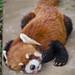 """きっと前世はワンコ - An adorable red panda, """"HAO"""" -"""