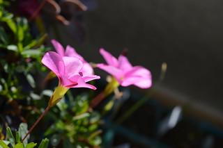DSC_1346 Oxalis 'momo-no-kagayaki' オキザリス 桃の輝き