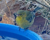 jaybirding has added a photo to the pool:Very late season Pine Warbler (Setophaga pinus) on bird bath after feeding on insect suet. Rossmore Road, Brunswick, ME.