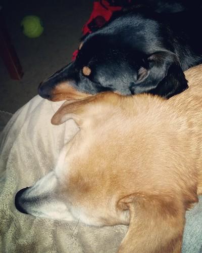Doberman Puppy and Senior hound mix cuddling - Lapdog Creations