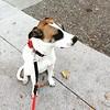 Proud Fanny #fannypup #ilovemydog #hounddog #mutt #mygirl