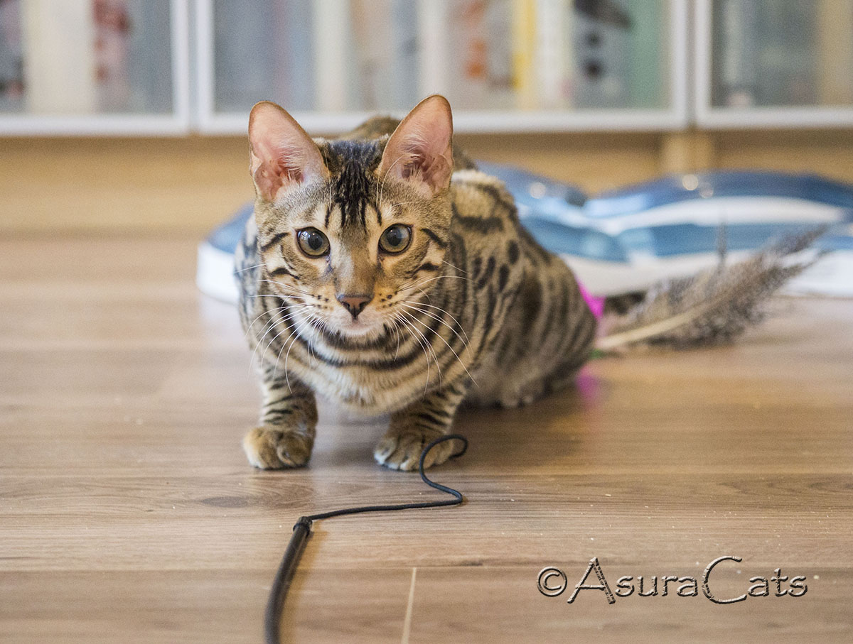 AsuraCats Junior - Brown spotted/rosetted Bengal male