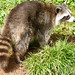 South Lakes Safari Zoo - racoon