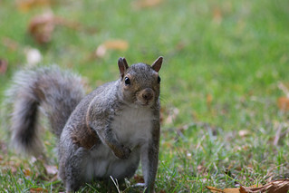 Squirrel in Greenwich