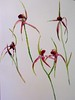 Spider Orchids at Wireless Hill by Evelyn Bach